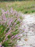 Blooming heath stock photos