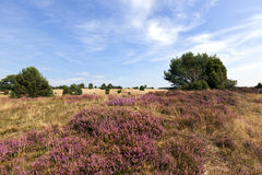 Blooming Heath Landscape Royalty Free Stock Photos