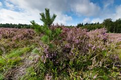 Young pine trees between the heathland. Blooming heath in September with fresh green pine trees on the Dutch Veluwe, Renderklippen Heerde, Epe Stock Images