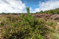 Young pine trees between the heathland. Blooming heath in September with fresh green pine trees on the Dutch Veluwe, Renderklippen Heerde, Epe Stock Photography