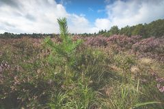 Young pine trees between the heathland. Blooming heath in September with fresh green pine trees on the Dutch Veluwe, Renderklippen Heerde, Epe Royalty Free Stock Photo