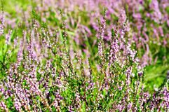 Blooming heather Stock Photography