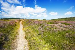 Blooming heather Royalty Free Stock Photography