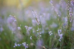 Blooming heather Royalty Free Stock Photo