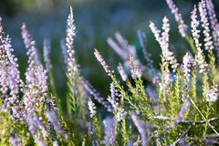 Blooming heather Royalty Free Stock Images