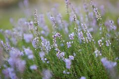 Blooming heather Stock Photos