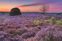 Blooming heather at dawn at the Posbank, The Netherlands Stock Photography