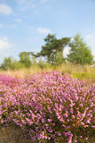 Blooming heather field Royalty Free Stock Photo