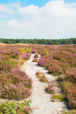 Blooming heather field with sand path. Blooming purple heather field with empty sand path stock photo
