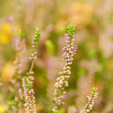 Blooming heather flowers Royalty Free Stock Photography