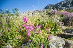 Blooming Heather on Mountain Rocks. Calluna Vulgaris or common heather on rocky mountain path close up royalty free stock photos