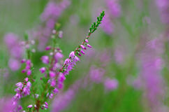 Blooming heather in the summer forest Royalty Free Stock Image