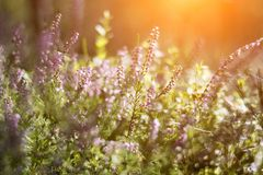 Blooming heather in the summer forest. Soft tone, beautiful bokeh, green background. Spiderweb Stock Photos