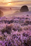 Blooming heather at sunrise, Posbank, The Netherlands Stock Photo