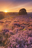 Blooming heather at sunrise at the Posbank, The Netherlands Stock Photography