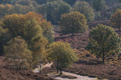 Blooming heathland in Dutch national park Veluwe Royalty Free Stock Photos