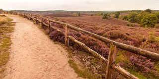 Blooming heathland with hiking trail. Panoramic image of blooming heathland with hiking trail at the Veluwe in The Netherlands Stock Photo