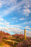 Blooming heathland with hiking trail Royalty Free Stock Photo