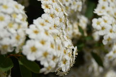 Blooming hedge. The hedge of my garden is blooming with beautiful flowers of white in my summer garden Stock Image
