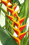 Blooming heliconia flowers. A cluster of yellow and red blooming heliconia flowers on a white background Stock Images