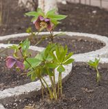 Blooming hellebore on a flowerbed stock photography