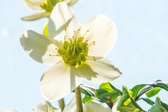 Blooming hellebore, medicinal herb with flower. In back light Stock Photos