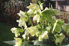Blooming Helleborus Niger (Hellebore) in a Dutch garden in winter. Blooming Helleborus (Hellebore) in the garden in winter, spring is coming in the Netherlands Royalty Free Stock Image