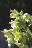 Blooming Helleborus Niger (Hellebore) in winter, Netherlands  Royalty Free Stock Photo