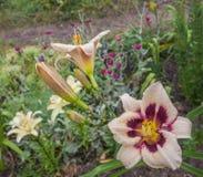Blooming Hemerocallis in drops of water after watering Stock Images