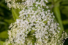 Blooming hemlock. Closeup with blurred background Stock Photography