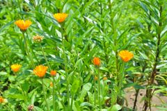 Blooming herb marigold 5 Stock Photo