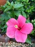Blooming hibiscus flower Royalty Free Stock Image