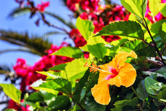 Blooming hibiscus flowers in spring time. Madeira island Royalty Free Stock Photo