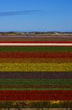 The blooming Holland tulips. Famous Holland tulips fields on April Stock Photo