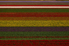The blooming Holland tulips. Famous Holland tulips fields on April Stock Photos