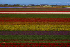 The blooming Holland tulips. Famous Holland tulips fields on April Stock Images