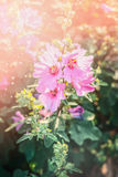 Blooming hollyhock in garden or park. Flowers bed Stock Photo