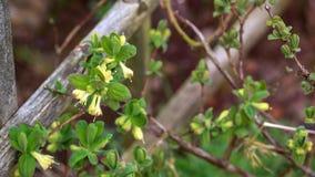 Blooming honeysuckle flowers in spring garden. Lonicera caerulea bush stock photo