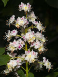 Blooming Horse chestnut, Aesculus hippocastanum, flowers cluster on dark background close-up Stock Image