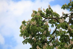 Blooming Horse Chestnut tree Stock Images