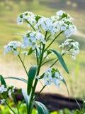 Blooming horseradish. Royalty Free Stock Image