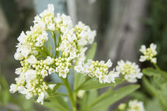 Blooming horseradish Stock Images