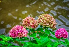 Blooming hortensia bush with beautiful pink flowers Royalty Free Stock Photography