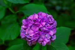 Blooming hortensia bush with beautiful purple flower Stock Images