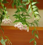 Blooming hoya carnosa. Plant voluble liana  inflorescence  blooming hoya carnosa Royalty Free Stock Photos