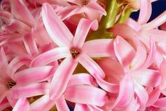 Blooming hyacinth Royalty Free Stock Image