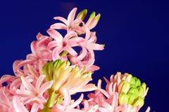 Blooming hyacinth Royalty Free Stock Photo
