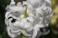 Blooming hyacinth. Early spring. Stock Images