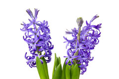 Blooming hyacinth flowers (hyacinthus) Royalty Free Stock Photos