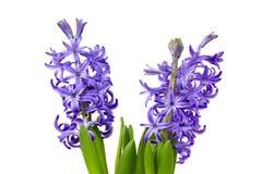 Blooming hyacinth flowers (hyacinthus) Royalty Free Stock Photos